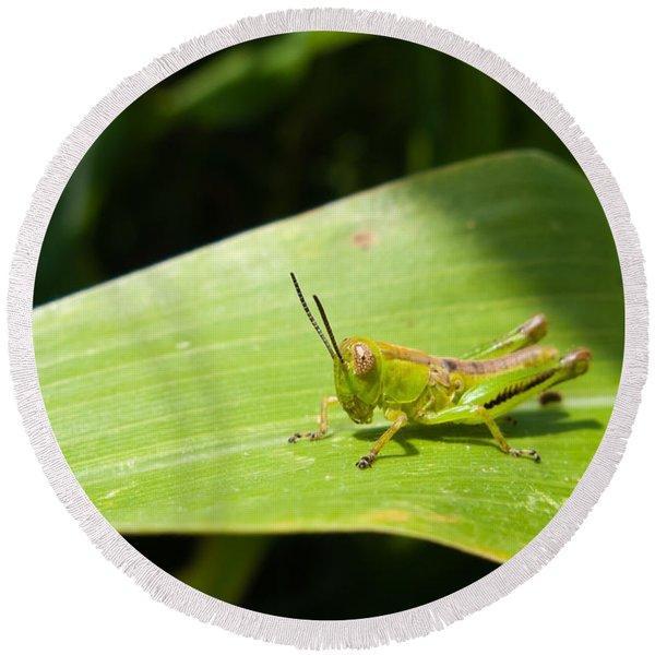 Grasshopper On Corn Leaf   Round Beach Towel