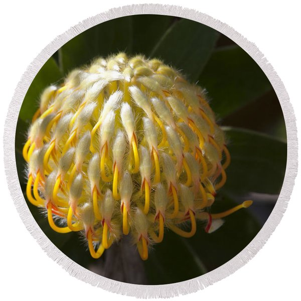 Leucospermum  -   Yellow Pincushion Protea Round Beach Towel