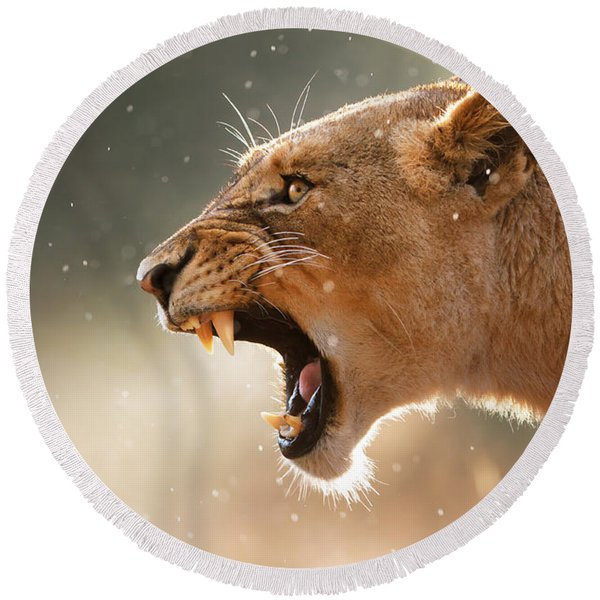 Lioness Displaying Dangerous Teeth In A Rainstorm Round Beach Towel