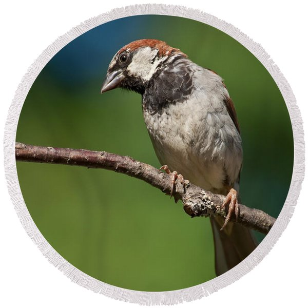 Male House Sparrow Perched In A Tree Round Beach Towel