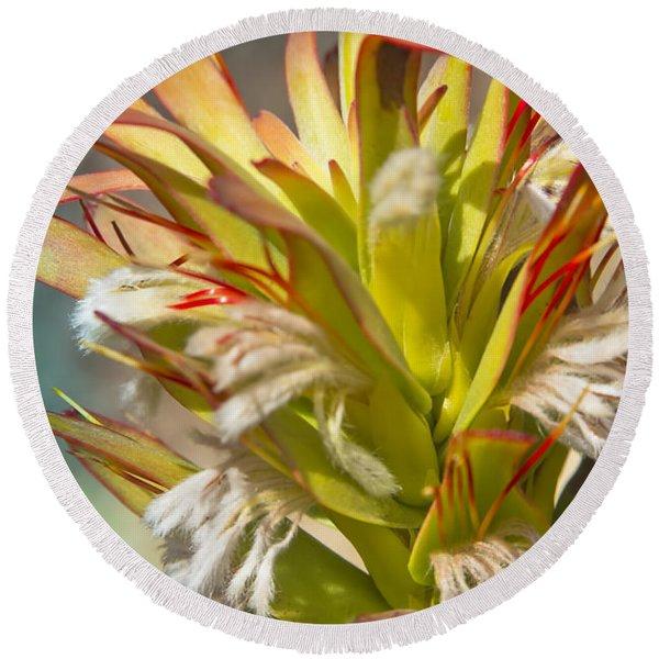 Mimetes Cucullatus - Proteaceae - Rooistompie Round Beach Towel