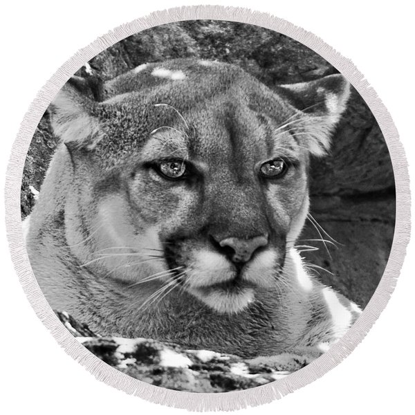 Mountain Lion Bergen County Zoo Round Beach Towel