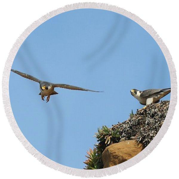 Peregrine Falcons - 1 Round Beach Towel