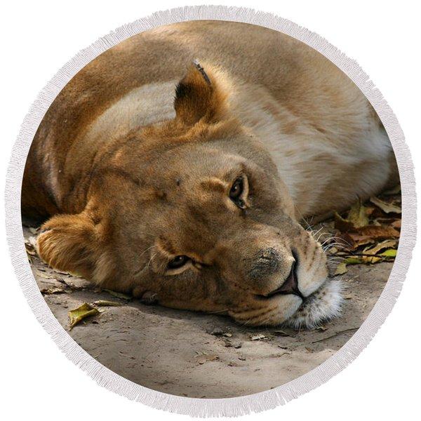 Sleepy Lioness Round Beach Towel