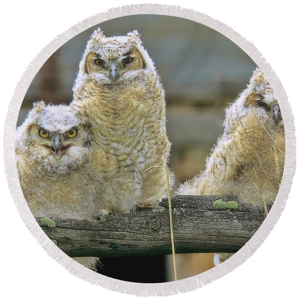 Three Great-horned Owl Chicks Round Beach Towel