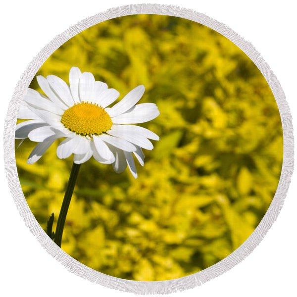 White Daisy In Yellow Garden Round Beach Towel
