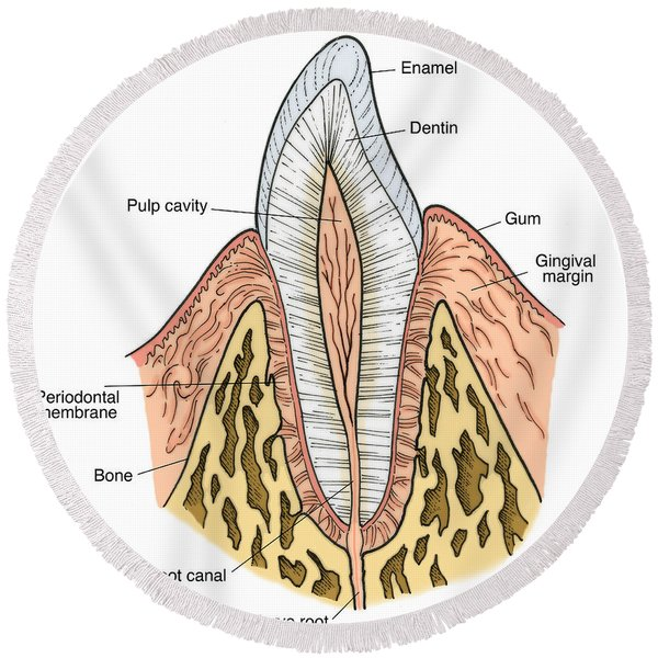Illustration Of Pre-molar Tooth Round Beach Towel