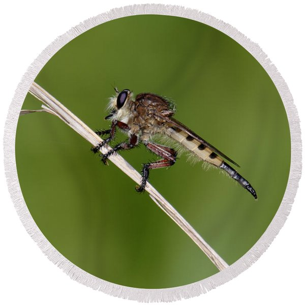 Giant Robber Fly - Promachus Hinei Round Beach Towel