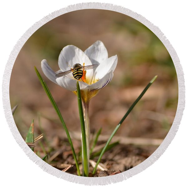 Hoverfly Visitng A Crocus Round Beach Towel