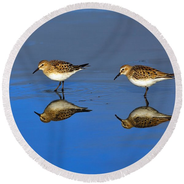 Juvenile White-rumped Sandpipers Round Beach Towel