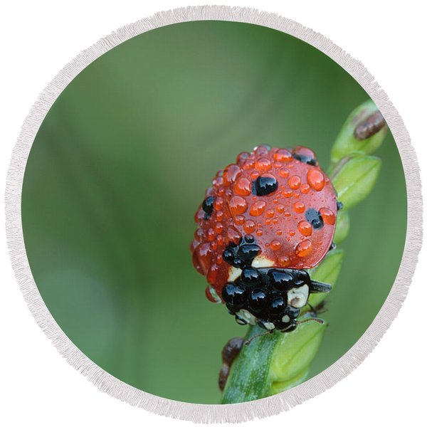 Seven-spotted Lady Beetle On Grass With Dew Round Beach Towel