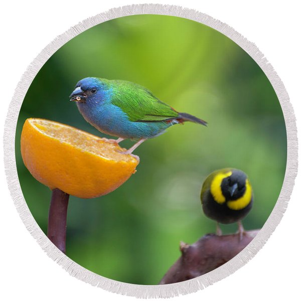 Blue-faced Parrotfinch Round Beach Towel