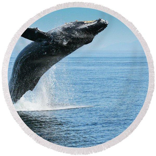 Breaching Humpback Whales Happy-1 Round Beach Towel
