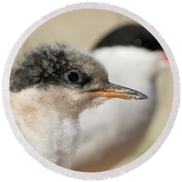 Arctic Tern Chick With Parent - Scotland Round Beach Towel