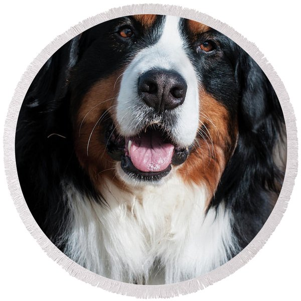 Bernese Mountain Dog Portrait  Round Beach Towel