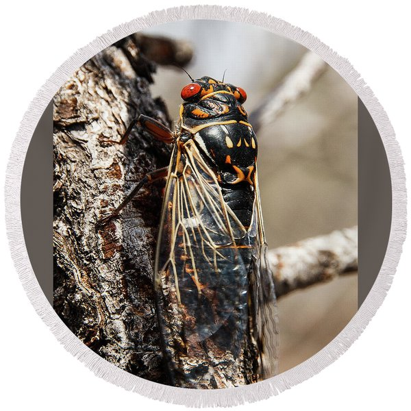 Round Beach Towel featuring the photograph Big Bend Periodic Cicada by Lon Dittrick