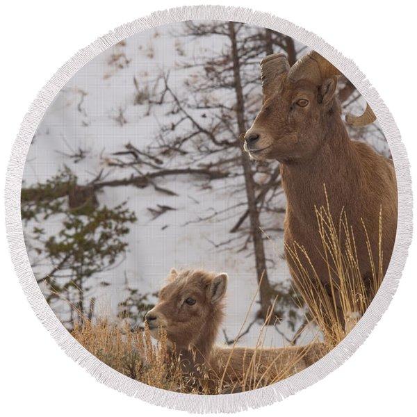 Bighorn Ram And Kid Round Beach Towel