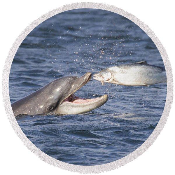 Bottlenose Dolphin Eating Salmon - Scotland  #36 Round Beach Towel