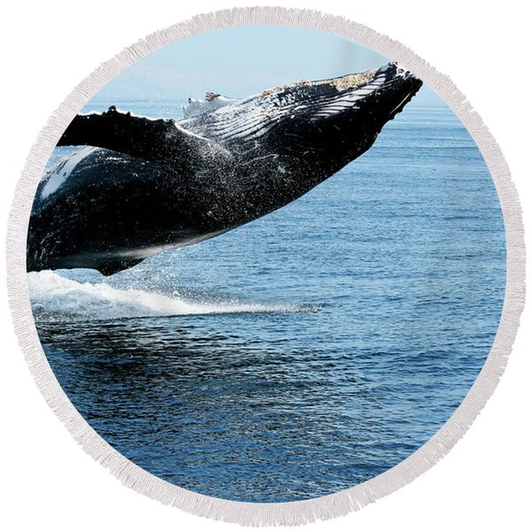 Breaching Humpback Whales Happy-2 Round Beach Towel