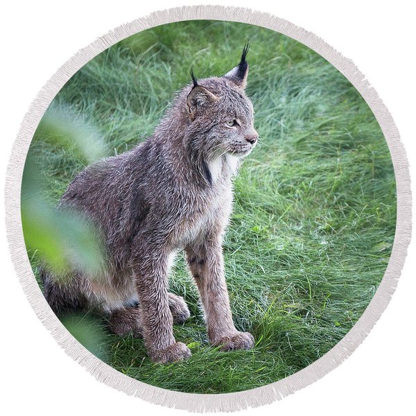 Round Beach Towel featuring the photograph Champion Mama Lynx by Tim Newton
