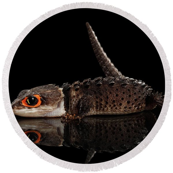 Closeup Red-eyed Crocodile Skink, Tribolonotus Gracilis, Isolated On Black Background Round Beach Towel