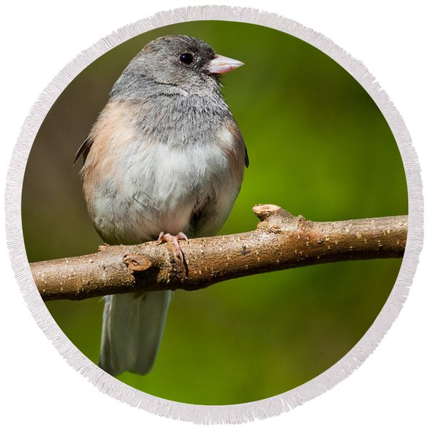 Dark Eyed Junco Perched On A Branch Round Beach Towel