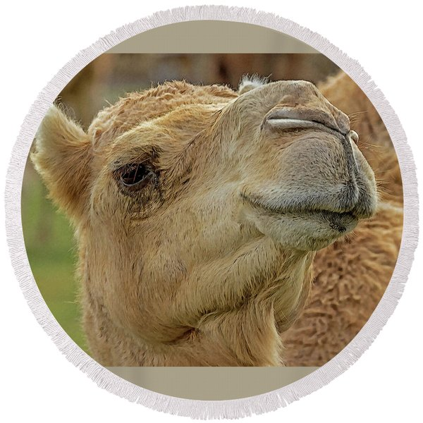 Dromedary Or Arabian Camel Round Beach Towel