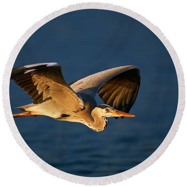 Grey Heron In Flight Round Beach Towel