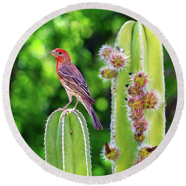 House Finch On Blooming Cactus Round Beach Towel