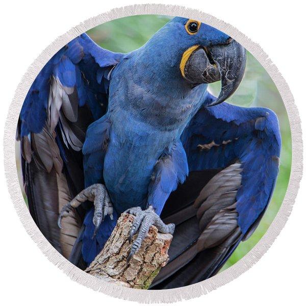 Hyacinth Macaw Round Beach Towel