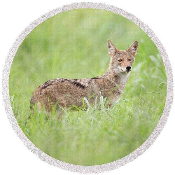 Juvenile Coyote Round Beach Towel