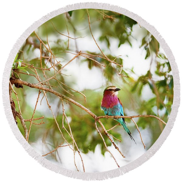 Lilc Breasted Roller Bird In Tree Round Beach Towel