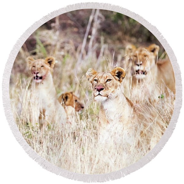 Lion Pride Lying In Tall Grass Round Beach Towel