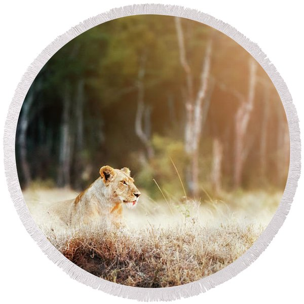 Lioness In Morning Sunlight After Breakfast Round Beach Towel
