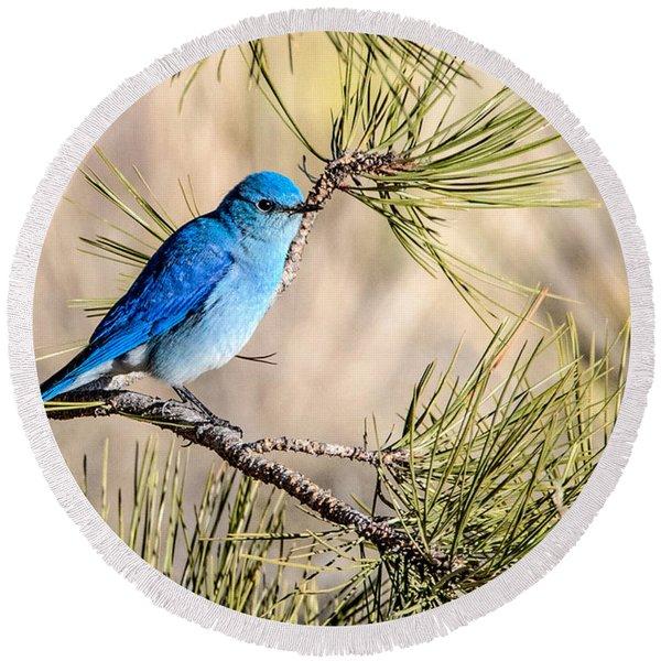 Mountain Bluebird In A Pine Round Beach Towel