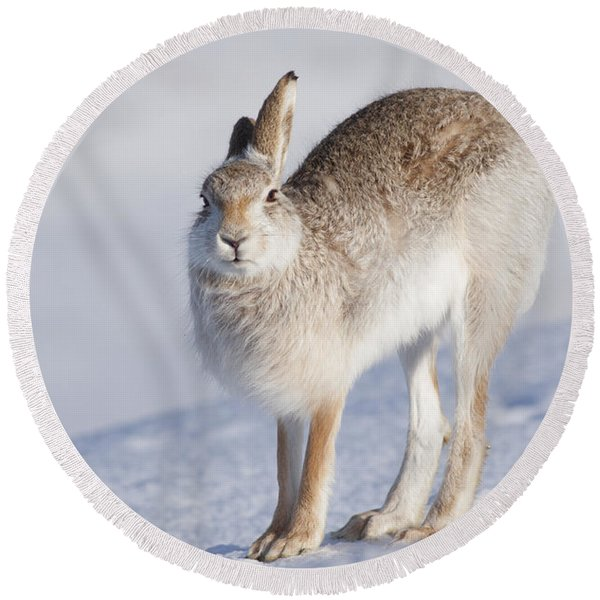 Mountain Hare In The Snow - Lepus Timidus  #2 Round Beach Towel