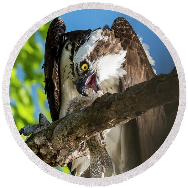 Osprey With Prey Round Beach Towel