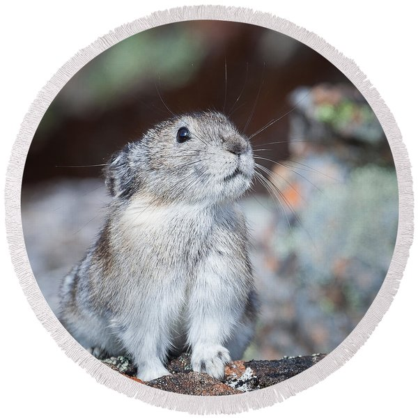 Round Beach Towel featuring the photograph Pika Portrait by Tim Newton