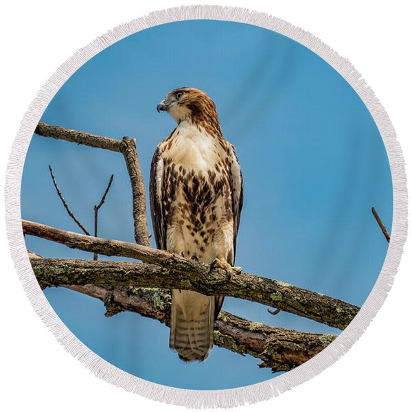 Red Tail Hawk Perched Round Beach Towel