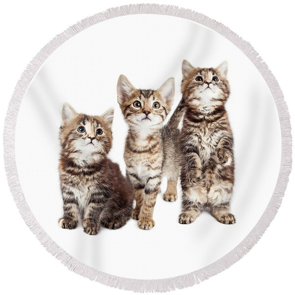 Three Curious Tabby Kittens Together On White Round Beach Towel