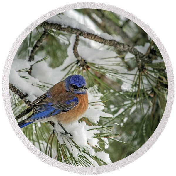 Western Bluebird In A Snowy Pine Round Beach Towel