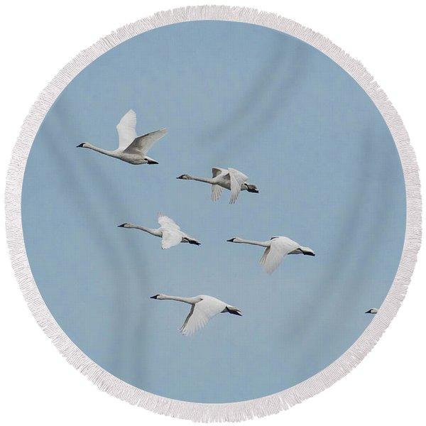 Whistling Swan In Flight Round Beach Towel
