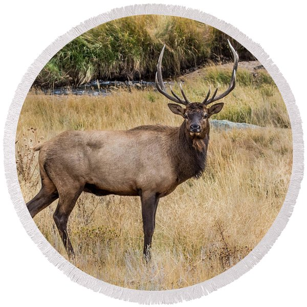 Young Bull Elk Round Beach Towel