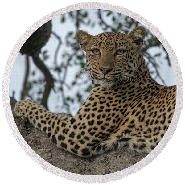 A Leopard Gazes From A Tree Round Beach Towel