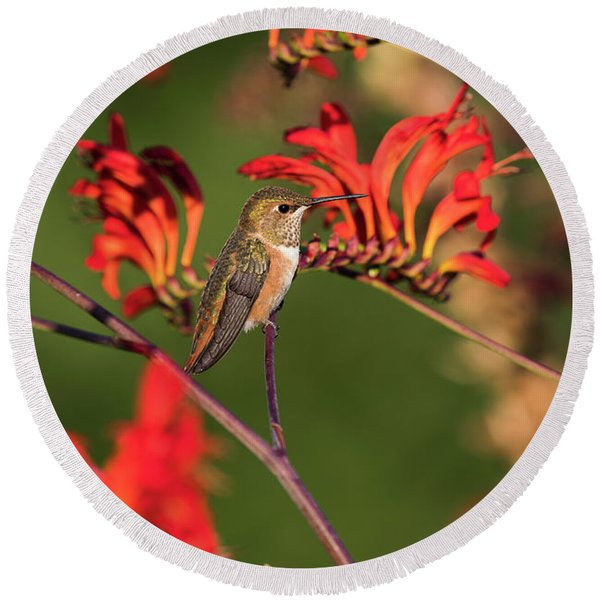 Female Rufous Hummingbird At Rest Round Beach Towel