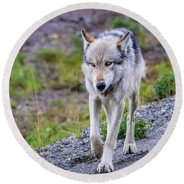 Grey Wolf In Denali National Park, Alaska Round Beach Towel