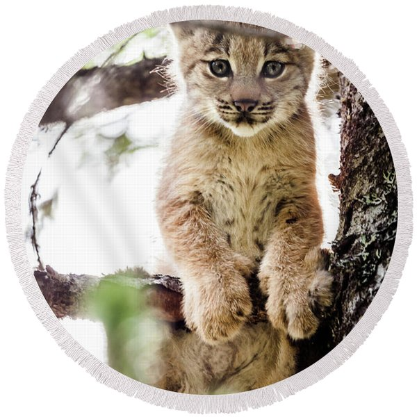 Round Beach Towel featuring the photograph Lynx Kitten In Tree by Tim Newton