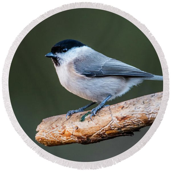 Marsh Tit On The Old Pine Branch Round Beach Towel