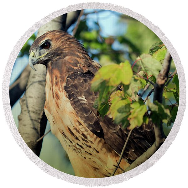 Red-tailed Hawk Looking Down From Tree Round Beach Towel