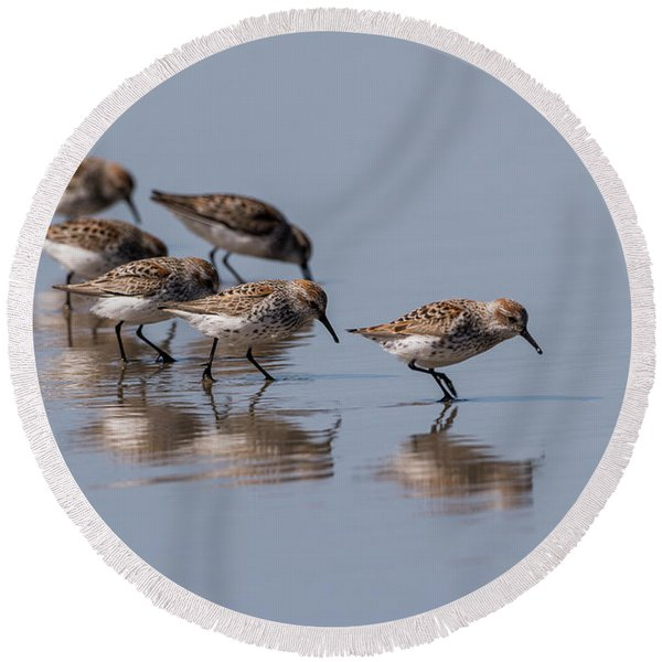 Western Sandpipers And Reflection Round Beach Towel
